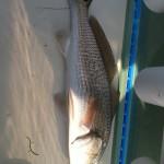Redfish in the slot