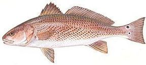Red Drum, Also known as Channel Bass, Redfish, Spottail Bass