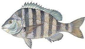Florida striped fish