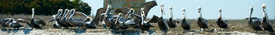 Pelicans resting on the oyster banks